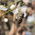 Schwebfliege an einer Mirabelle, Foto: Heike Walter