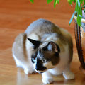 Marie - Siam Mix Katze - Schwalbach/Elm