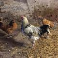 Hühner mit Hähnen
