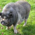 Felix - das Hängebauchschwein