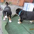 Bella und Blue beim 'Foliengang'