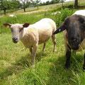 Lamm- und Schaffleisch