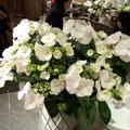 本田会長がお祝いに贈った冬あじさいの花。