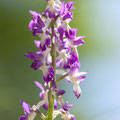 Orchis Mascula x Pallens