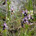 Ophrys de la Drôme 4