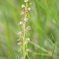Orchis anthropophora x simia