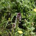 Orchis Brulé 5
