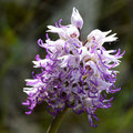 Orchis Singe 6