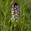 Orchis Brulé 2