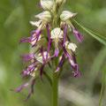 Orchis simia x anthropophora