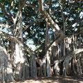 Banyan-Baum