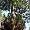 カベヨシ付近のスギ巨樹。