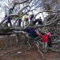 倒木したブナの巨木で遊ぶ。