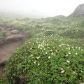 トムラウシのお花畑