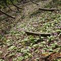 一面に咲いていたカタクリの群生。