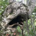 野谷荘司三方岩29 キノコが生えてる木がたくさんありました。