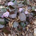 麓近くに咲いていたイワウチワ。