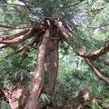 大きな杉の木。タコの足ように枝が延びてます。