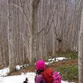 綺麗なブナ林。奥には笑うブナの樹もあります。