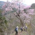 帰路、大きな山桜の樹の下を。