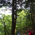 杉の巨木。