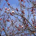 梅がきれい!。