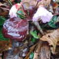 イワウチワが咲いていました。