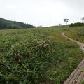 黒沢池の木道とダケカンバ。