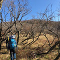 強風に耐えて曲がったブナ林。