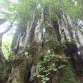 かつらの巨樹。
