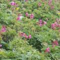 富良野岳のきれいなお花畑