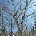 ブナの大木に元気づけられる。