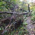 登山道に倒木。