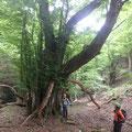 かつらの樹を見上げる・・。