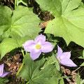 初めて知った花その1、シラネアオイ。