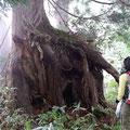 途中杉の大木があちこちに