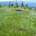 ワタスゲと池塘。
