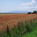 Mohnfelder vor dem Monte Argentario