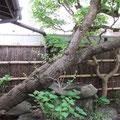 *樹齢400年の杏の老木。江戸時代はこのギャラリー付近もお城の一角だったとのこと。