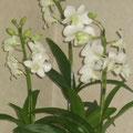 *清楚な白い蘭の花鉢。会場を華やかに彩ってくれました頂きましたお祝いの花たちにも感謝です。