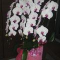 *お祝いに頂きました胡蝶蘭鉢。