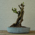 Flieder, Syringa vulgaris, Bonsai