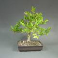 Stern-Magnolie, bonsai-hassler.de