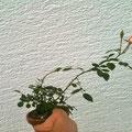 Rose, Rosa, Bonsai, Rohling