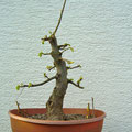 Winterlinde, Tilia cordata, Rohling, bonsai-hassler.de