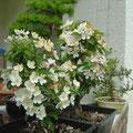Malus, Zieräpfel in der Blüten