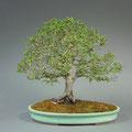 Jap. Zelkove, Zelkova serrata, Bonsai Solitär, Frühjahr, bonsai-hassler.de