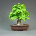 Winterlinde, Tilia cordata, bonsai-hassler.de