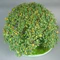 Jap. Zelkove, Zelkova serrata, Bonsai Solitär, bonsai-hassler.de