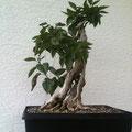 Flieder, Syringa vulgaris, Rohling, bonsai-hassle, Bonsai